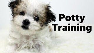 How To Potty Train A Havamalt Puppy - Havamalt House Training Tips - Housebreaking Havamalt Puppies