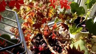 Пеларгонии в сентябре2018 Кухонное окно в селе.    # домашние цветы # пеларгонии