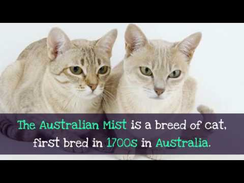 11 Facinating Facts About Australian Mist
