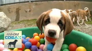 Сенбернар. Планета собак 🌏 Моя Планета