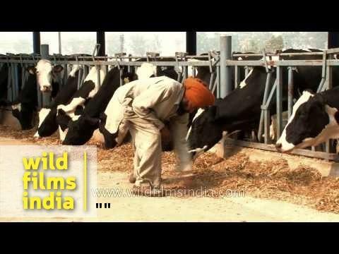 Feeding cows at a dairy farm in Punjab