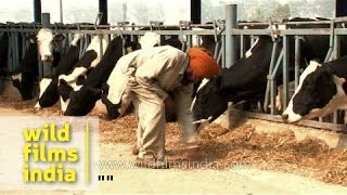 Feeding cows at a dairy farm in Punjab