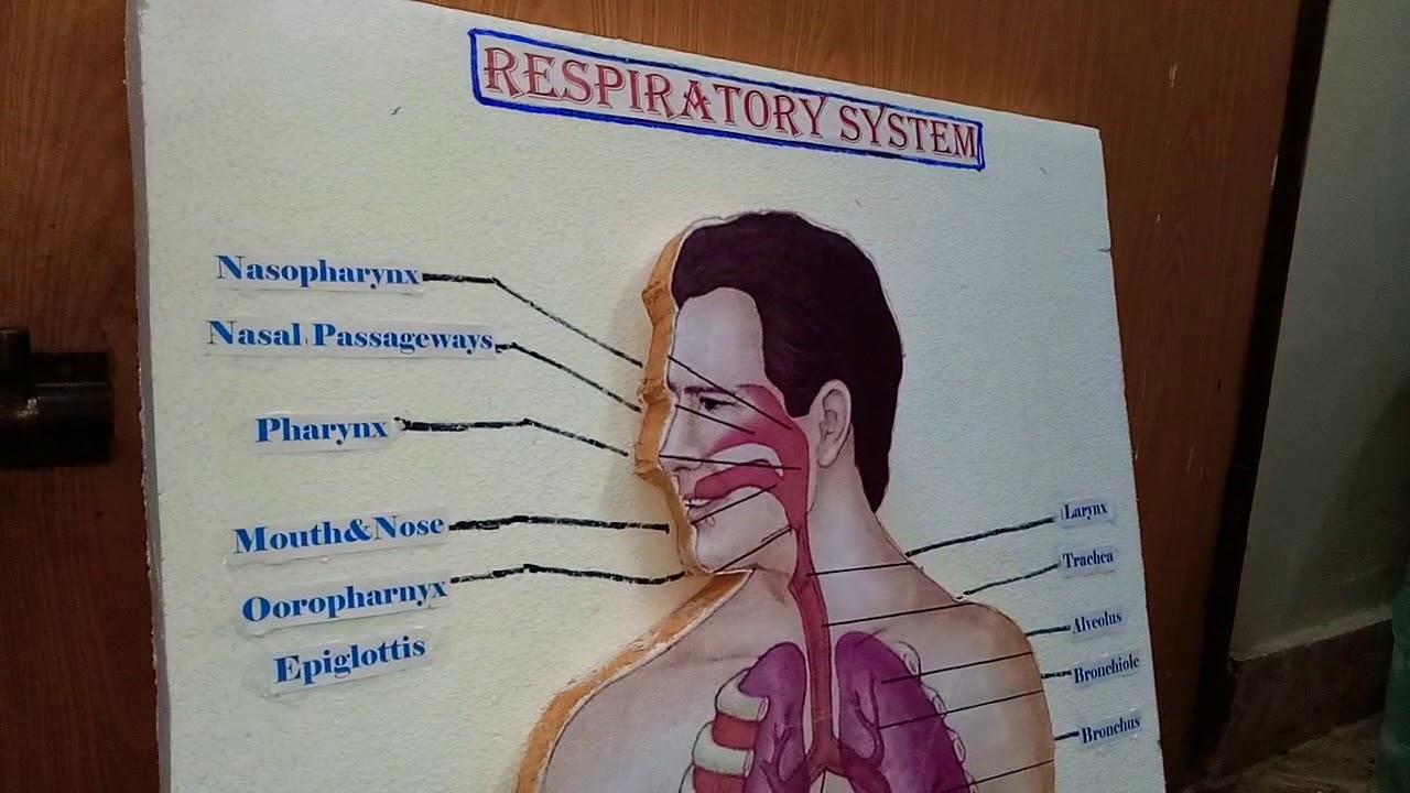 Respiratory System (www