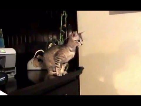 Видео как прыгают коты
