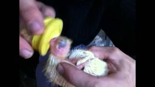 кормление птенца голубя
