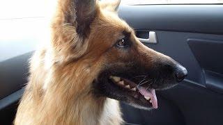 Собака одна дома(Вот что бывает когда щенок остается один дома., 2016-02-13T14:05:39.000Z)
