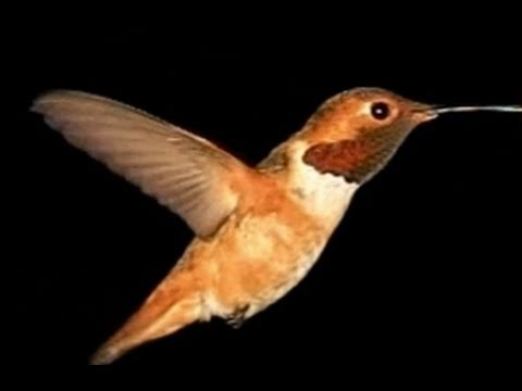 Slow Motion Hummingbirds - Kolibris