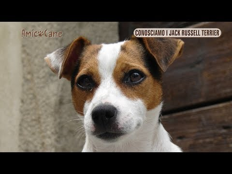 Conosciamo i Jack Russell Terrier - Amico cane