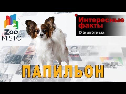 Папильон Интересные факты о породе | Собака породы папильон