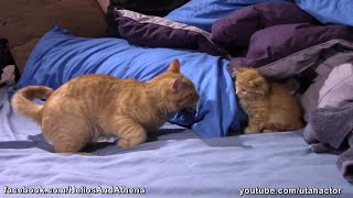 Cute Ginger Kitten Playing with Tomcat
