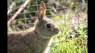 Como Criar Conejos de Campo (Todo lo que necesitas saber Para Criar conejos de monte)