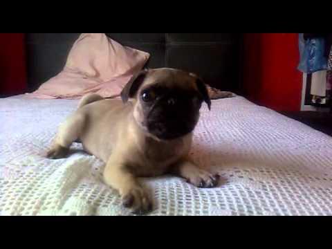 Perro Pug Bebe