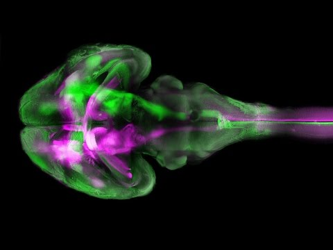 Mouse's body made entirely transparent to reveal nervous system
