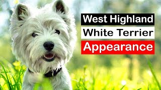 West Highland White Terrier All You Need To Know About The Breed Westie
