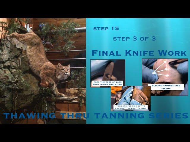 STEP 15 of 43 ~ Final Knife Work: EARS 3 of 3