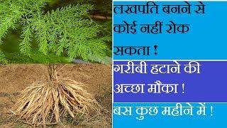 गरीबी हटाने की अच्छा मौका ! Shatavar (Asparagus) Farming | Shatavari Farming |