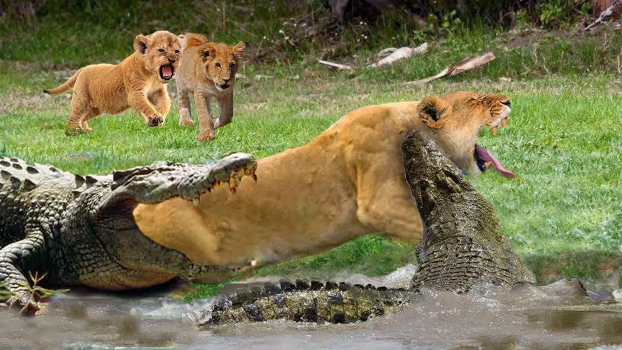 Download Mother Lion sacrifices himself to Save 2 Lion Cub across river - Crocodile is King River, Lion Lose