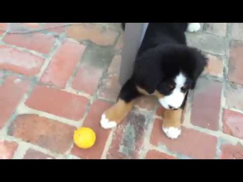 Bernese Mountain Dog Puppy Playing with Lemons