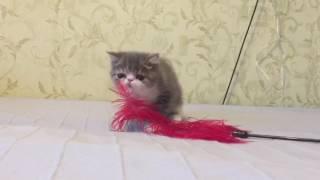Экзотический котёнок
