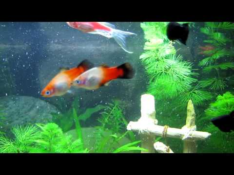 Platy (Platies) Breeding