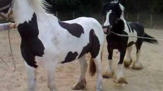 Repeat youtube video Dekking Lady door Celtic (stallion for Sale)
