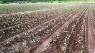 Капельное орошение капусты в Калужской области от Компании Новый век агротехнологий