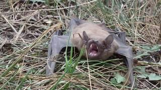 злая летучая  мышь