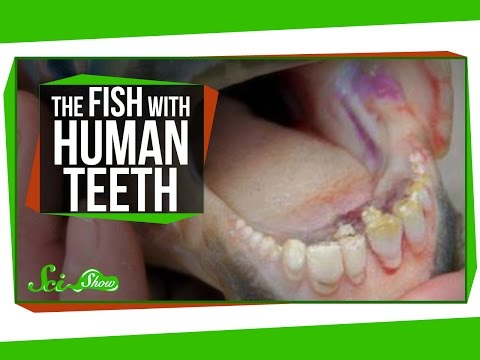 The Fish With Human Teeth