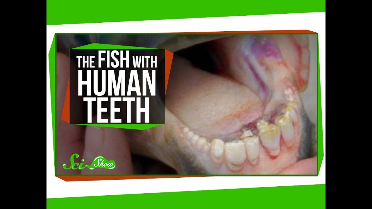 The Fish With Human Teeth - YouTube