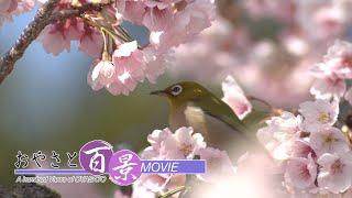 第65回「春の訪れ-早咲きのサクラ-」