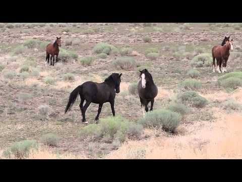 Mustang Stallion defending