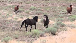 Mustang Stallion defending his mares and foals from bachelors