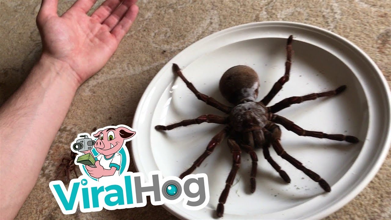 Goliath the Giant || ViralHog : spider size of dinner plate - pezcame.com