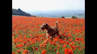 Episode 8   Irish Terrier in a Field of Poppies  True Dogs of War, 3 of 100 Bloody Objects