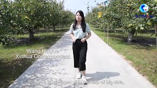 GLOBALink | Discovering Anhui: Exploring the digital technologies behind a pear