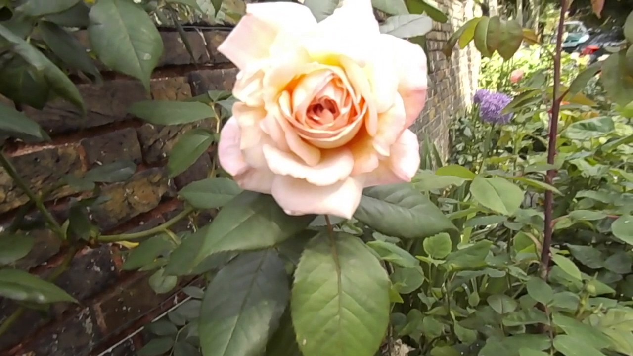 Rose A Shropshire Lad David Austin Ausled