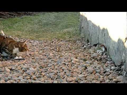 Cat and Stoat (HD)