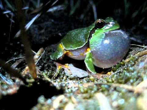 Pine Barrens treefrog (Hyla andersonii) calling in New Jersey
