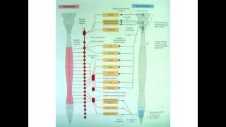Вегетативная нервная система (ВНС) лекция