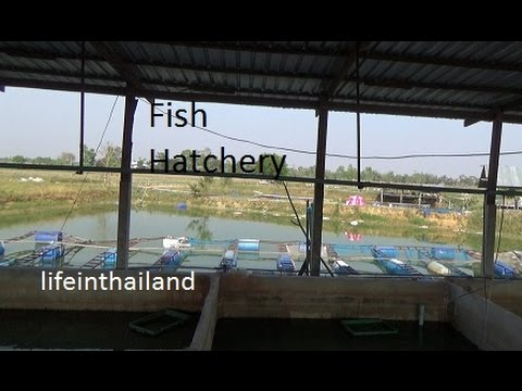 Thailand Fish Hatchery, The Unguided Tour.