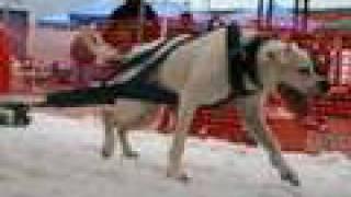 UNWPA Dog Pull Kirkland, WA