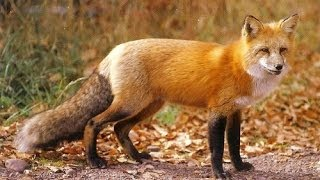 Red Fox Night sound.  Sounds like screaming lady.