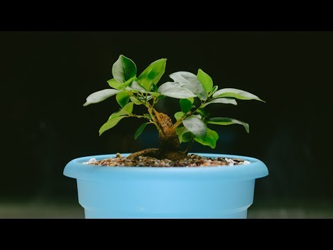 how to turn a ginseng ficus into a real bonsai tree doovi. Black Bedroom Furniture Sets. Home Design Ideas