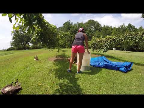 Muscadine Wine Part 1-  Collecting and Crushing