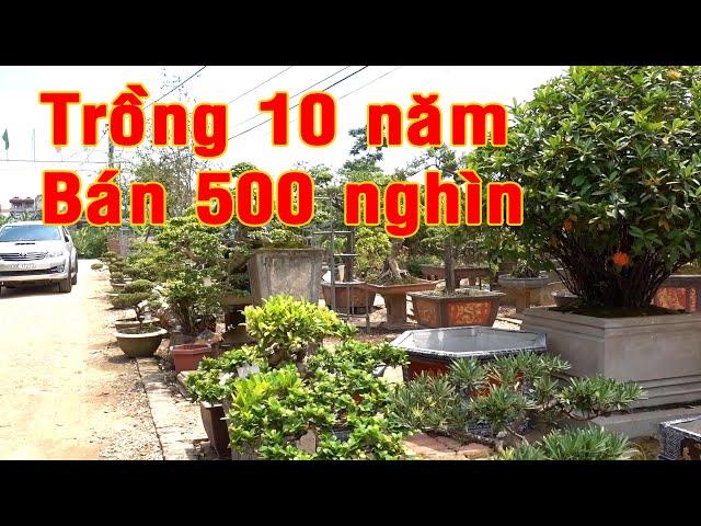 500 nghìn là có được cây cảnh đã trồng hơn 10 năm, tùng kim cương đẹp. Bonsai tree, pine