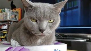 ティッシュ潰し猫の目の前に天敵白モフ猫を置いてみよう!のコーナー