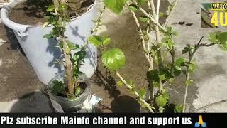 गुड़हल के पौधे की देखभाल एवं छटाई कब और कैसे करें।