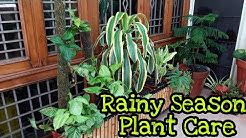 Rainy Season / Monsoon Plant Care Tips || Care of Plants in Monsoon / Rainy Season