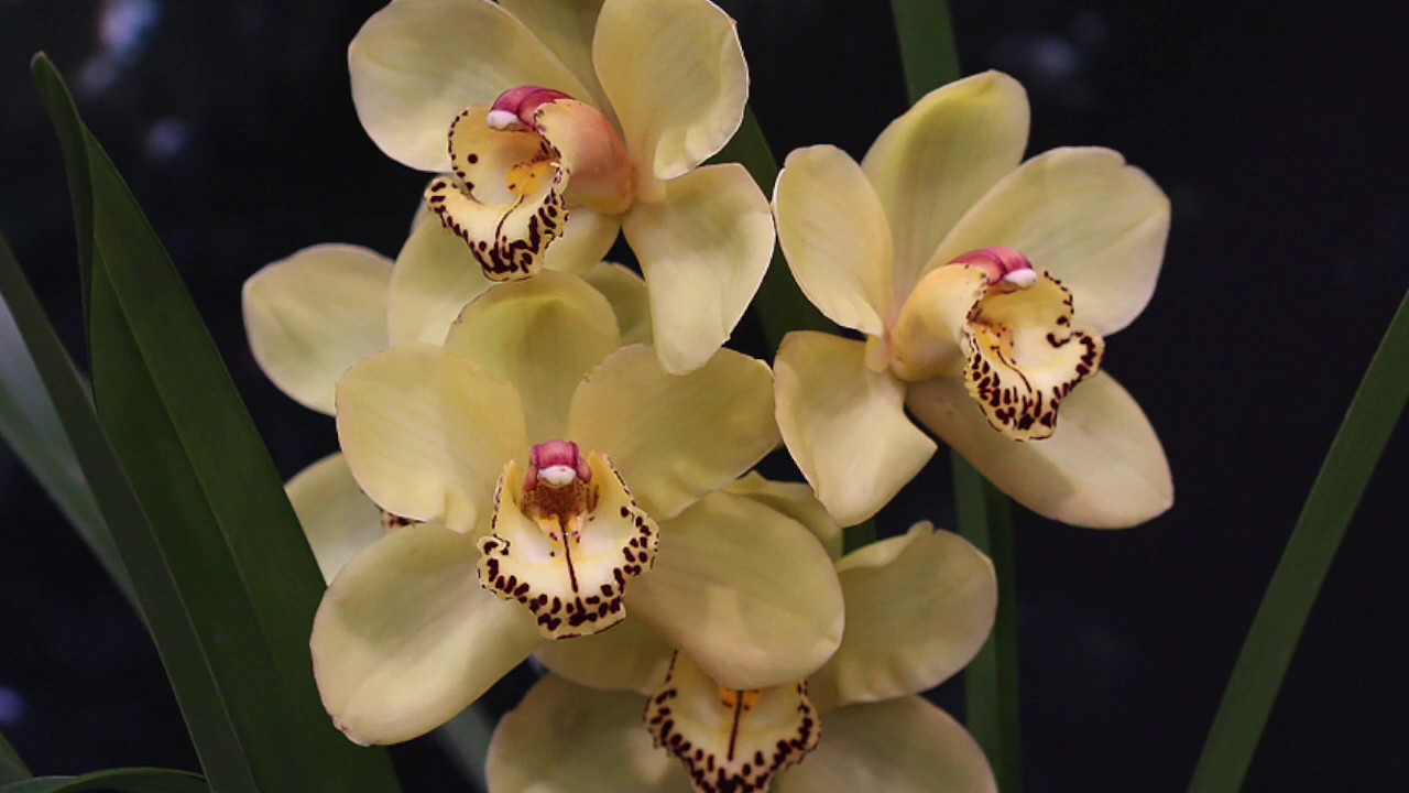 How To Divide And Repot Cymbidium Orchids Youtube