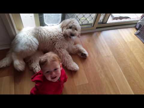 Goldendoodle & Baby Playing
